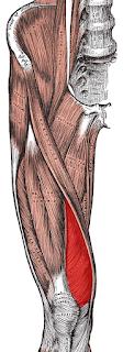 Vastus medialis - www.physioscare.com