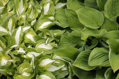 Variegated Hosta Next to Solid Leafed Hosta