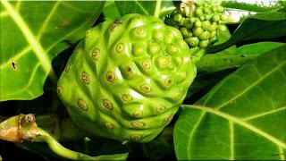 gambar buah mengkudu