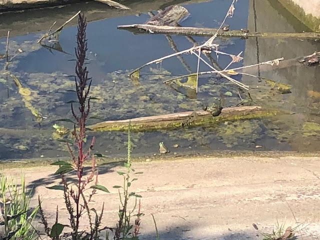 Frogs enjoying some sunning at Carl R. Hansen Woods