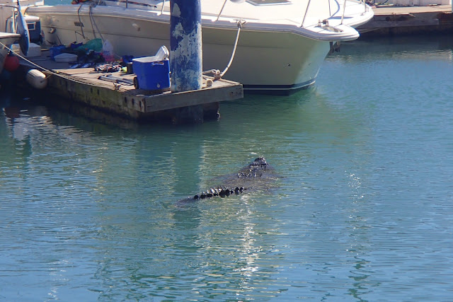 A gator swims among the yachts at Puerto Vallarta...