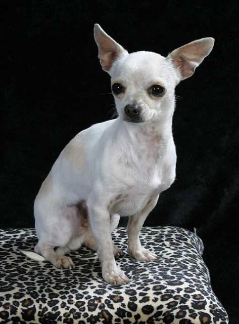 Chihuahua linea mexicana