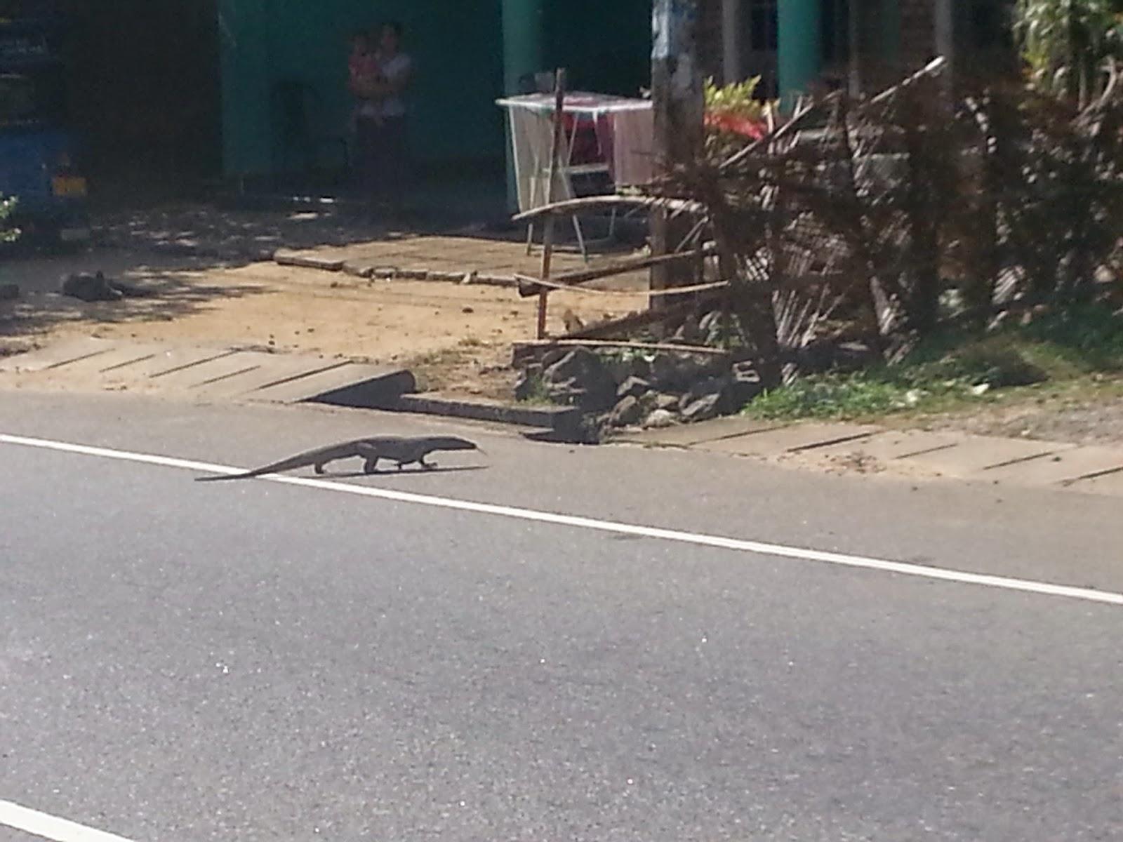 Sri Lanka Iguana