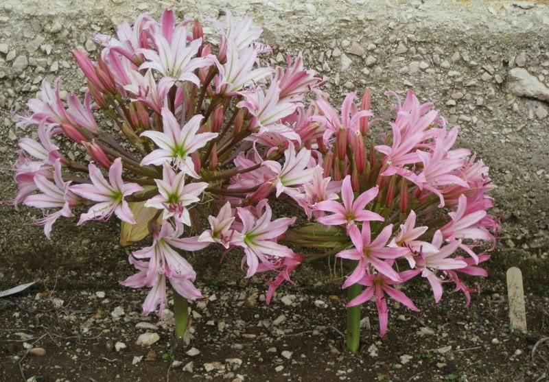 Brunsvigia Bosmaniae, flor