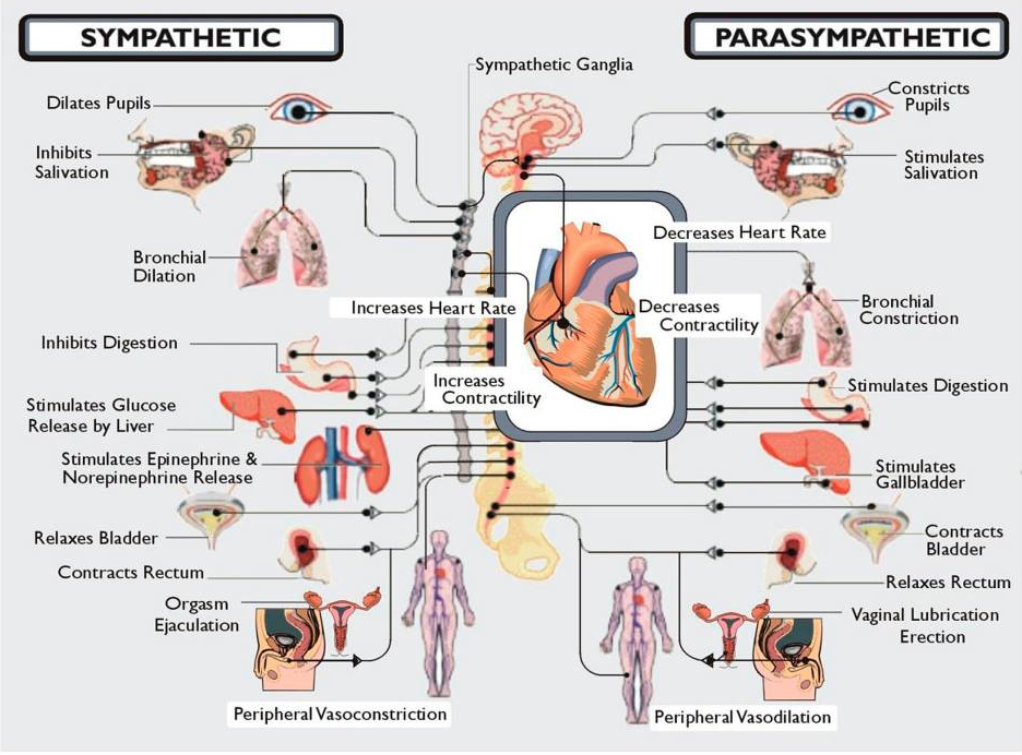 I hate postural orthostatic tachycardia diagrams of the diagrams of the sympathetic and parasympathetic nervous systems ccuart Choice Image