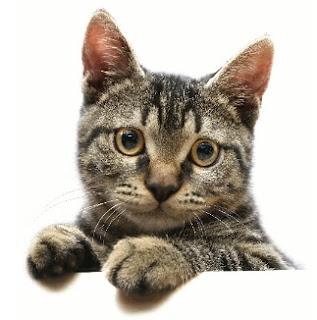 como-adestrar-gatos
