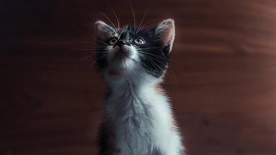 Cute Kitten, Cat, Pet HD wallpaper