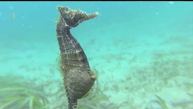 Seahorse giving birth in the wild