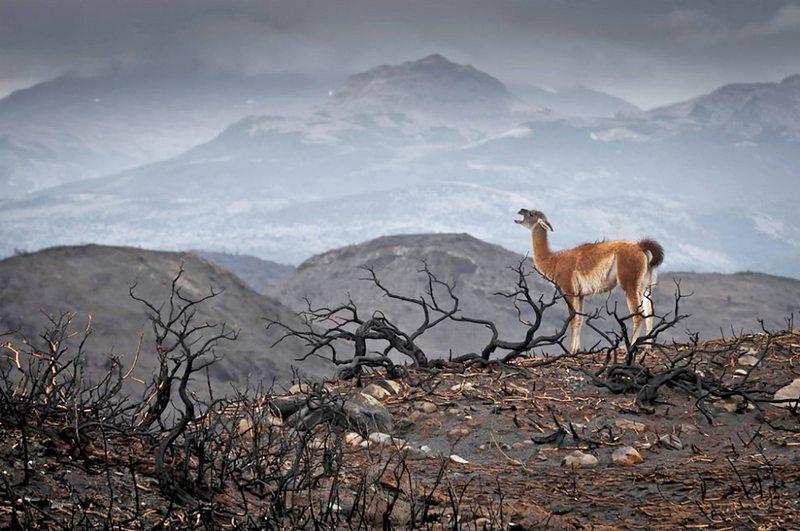 Triste imagen de un guanaco en Torres del Paine fue distinguida entre 19.547 fotos