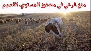 وزارة البيئة تمنع الرعي في محافظة الشماسية بالقصيم لـ 5 سنوات قادمة في خطوة للحفاظ على البيئة و الغطاء النباتي
