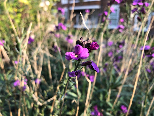 Purple wallflowers, Erysimum Bowles' Mauve
