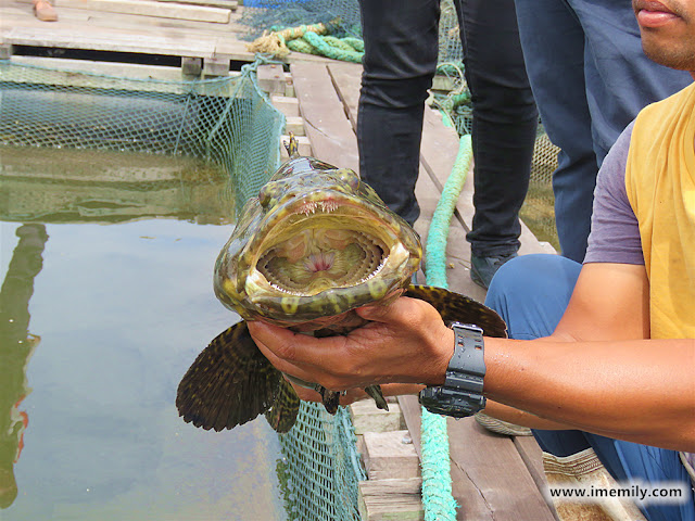 Visiting the local fish farm @ Setiu - grouper fish
