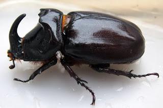 Jenis Kumbang Tanduk Di Dunia