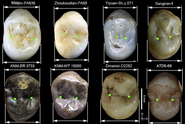 Meipu teeth shed light on the human settlement of Asia