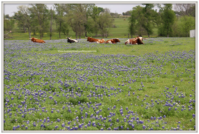 Texas Bluebonnets-Texas Longhorn-wildflowers-field-springtime-TexasFrom My Front Porch To Yours