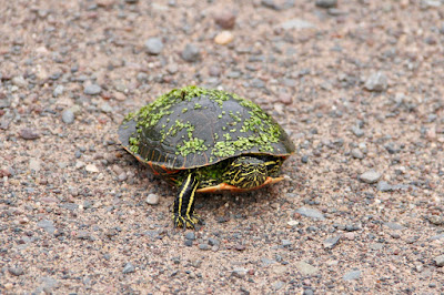 portrait of a painted turtle