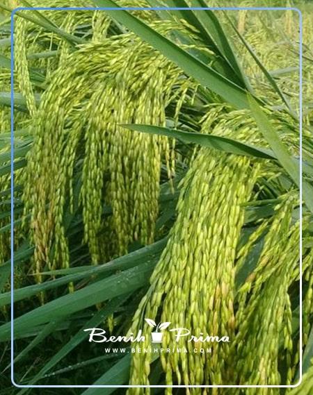Benih Prima, benih unggul, padi unggul, padi cakrabuana 04, benih padi unggul cb-04, padi cb-04,
