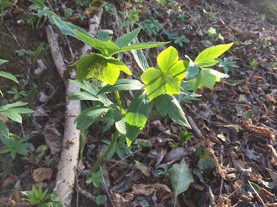 Helleborus viridis.