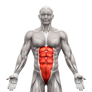 Abdominis rectus six pack abs