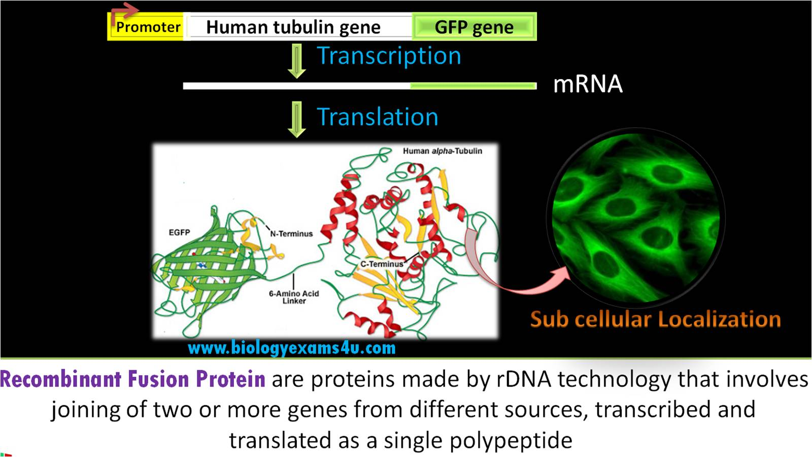Recombinant Fusion Protein and its uses