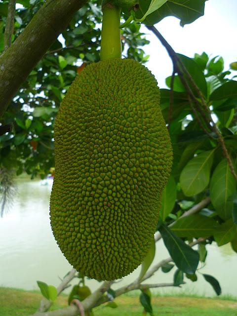 Таиланд, дуриан (Thailand, durian)