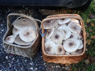 grzyby 2018, grzyby w październiku, grzyby w Puszczy Niepołomickiej, czubajki, kanie, co zrobić z dużą ilością kań, czubajki, a muchomor zielonawy