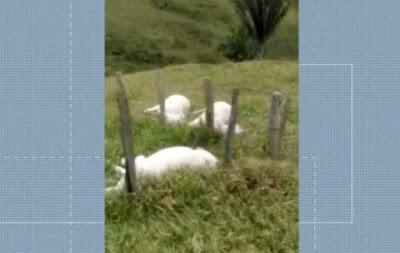 Bezerros são encontrados mortos em uma fazenda na cidade Itapebi; raio pode ter atingido os animais