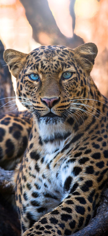 cool cheetah sitting under trees wallpaper