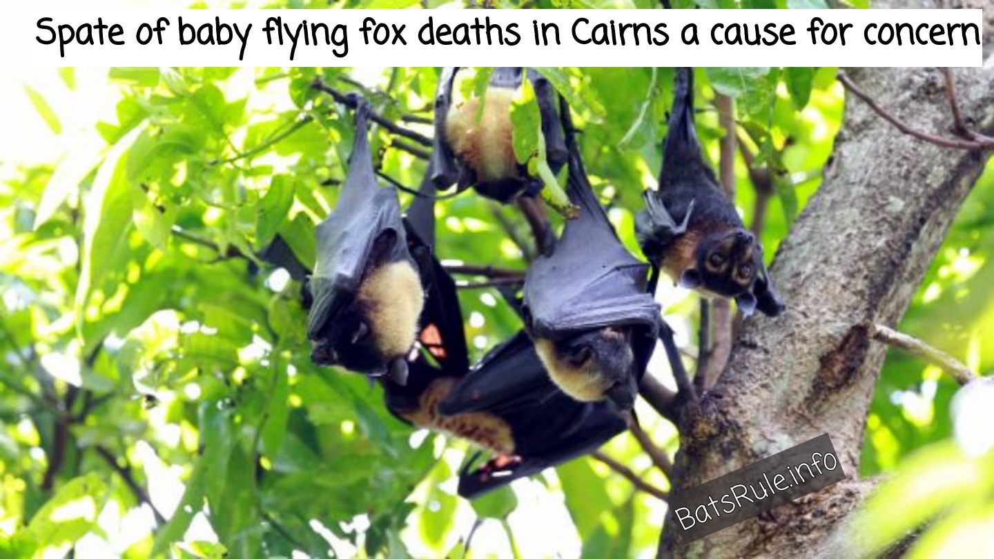 Spate of baby flying fox deaths in Cairns a cause for concern