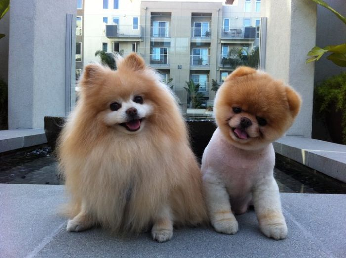 pomeranian boo dogs my funny beautiful pomeranian puppy named boo pictures 5431