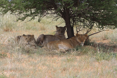 the Lion girls at the Aroel waterhole