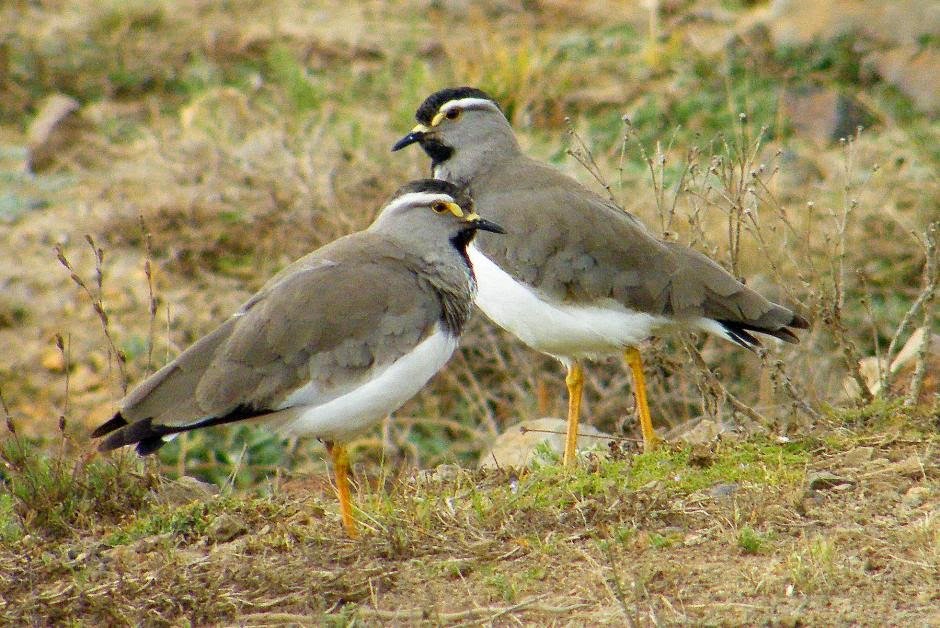 Spot breasted lapwing