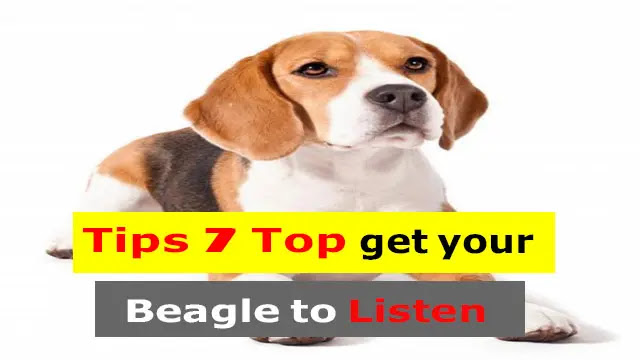 Top 7 Tips to Make a Beagle Listen to You