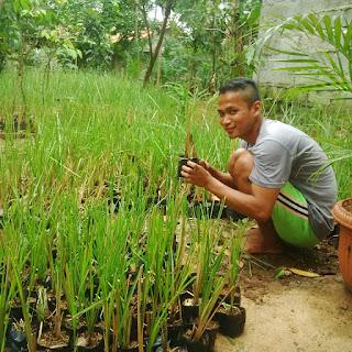 Jual bibit rumput vetiver (AKAR WANGI) pusat pembibitan tanaman tebing