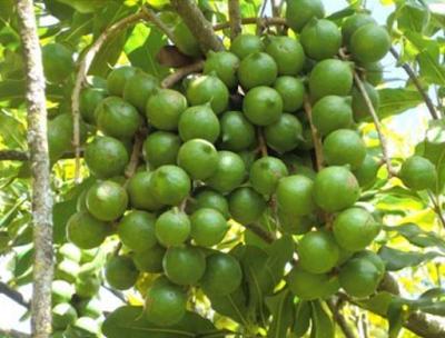 muranga 20 macadamia farming kenya