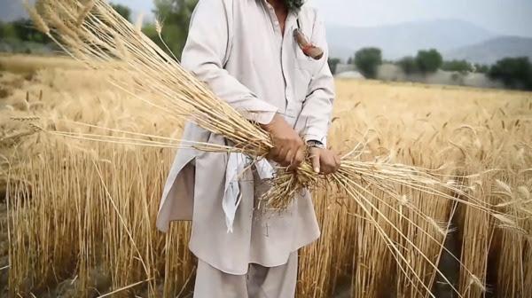 Afghanistan's next wheat harvest