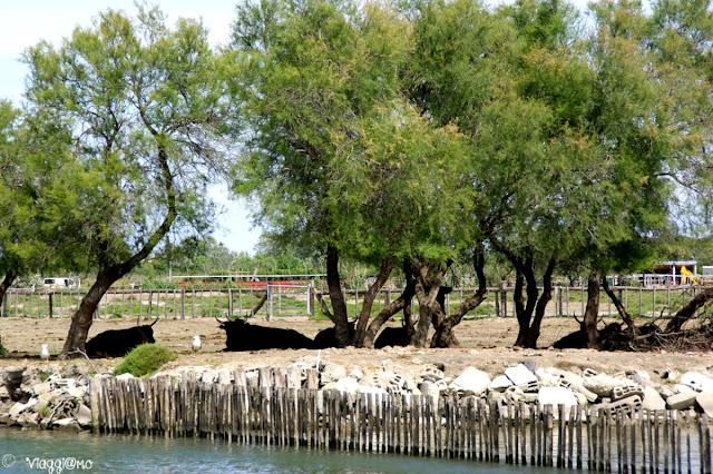 I tori neri che pascolano in Camargue