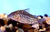 Jenis Ikan Corydoras agassizii