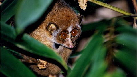 The Red Slender Loris (Loris Tardigradus) is Endemic to Sri Lanka