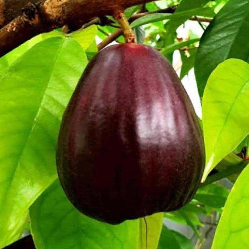 bibit buah jambu Jamaika okulasi Sulawesi Utara