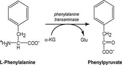 Transamination of phenylalanine
