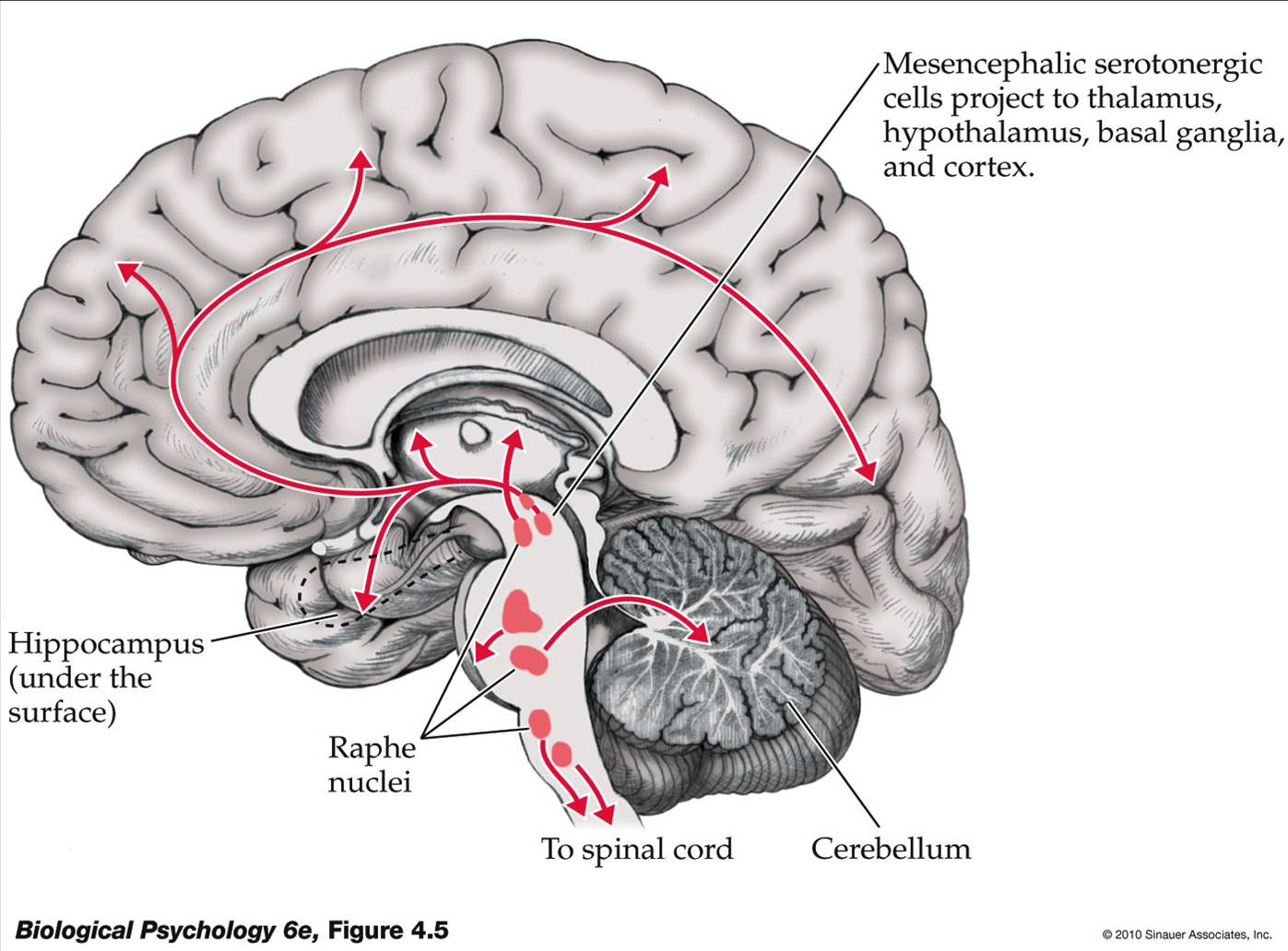 Life After Being A Student  My Mission To Learn: Neuroanatomy