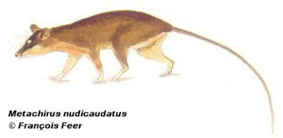 Metachirus nudicaudatus