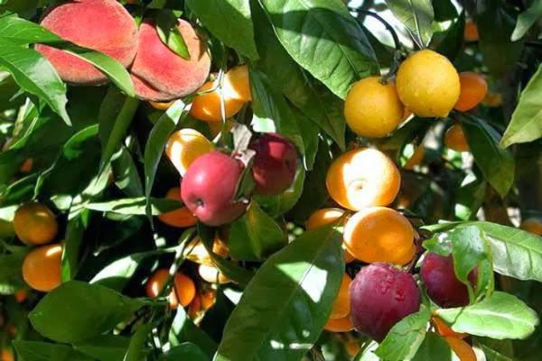 Δέντρο παράγει 40 διαφορετικούς τύπους καρπών