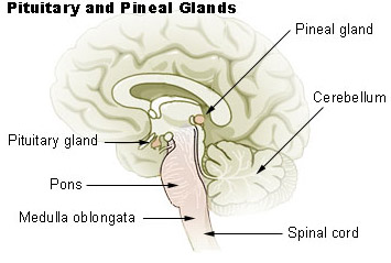 Which is the smallest gland of human body ?