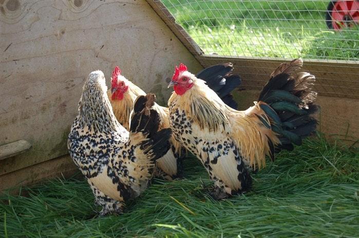 En pahalı tavuk cinsleri - Lemon Sabelpoot