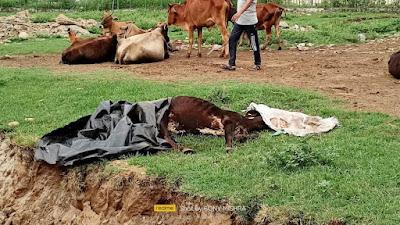 गौचर में 15 गाय की मौत