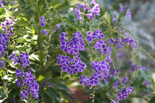 Duranta Sapphire Showers Vivero Growers Nursery Austin