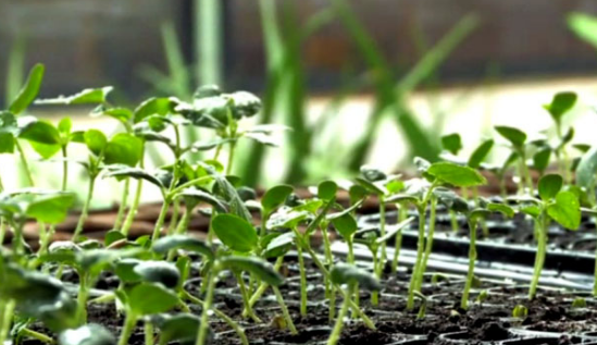 penyemaian tanaman melon