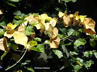 Kariya flowers, Foster Botanical Garden - Honolulu, HI